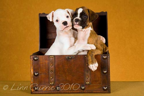 Tanyati Boxer Puppies, KUSA registered South African Boxer breeder