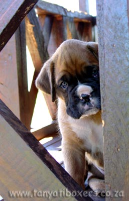Tanyati Boxer Puppies