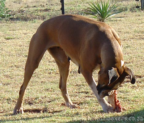 BARF feeding (Bone And Raw Food) is the only way Tanyati Boxers are fed!